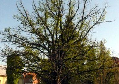 orezstromu.cz - Před ošetřením stromu 05