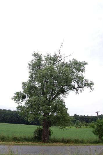 orezstromu.cz - Před ošetřením stromu 04
