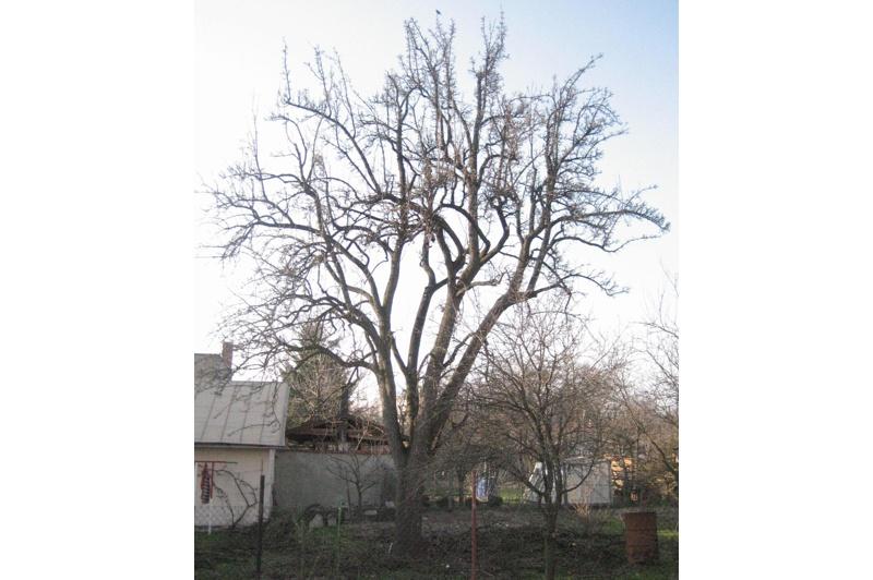 orezstromu.cz - Po ošetření: Řez ovocného stromu