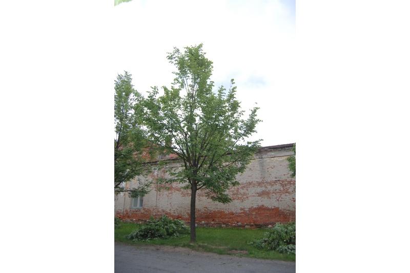 orezstromu.cz - Po ošetření stromu: Výchovný řez