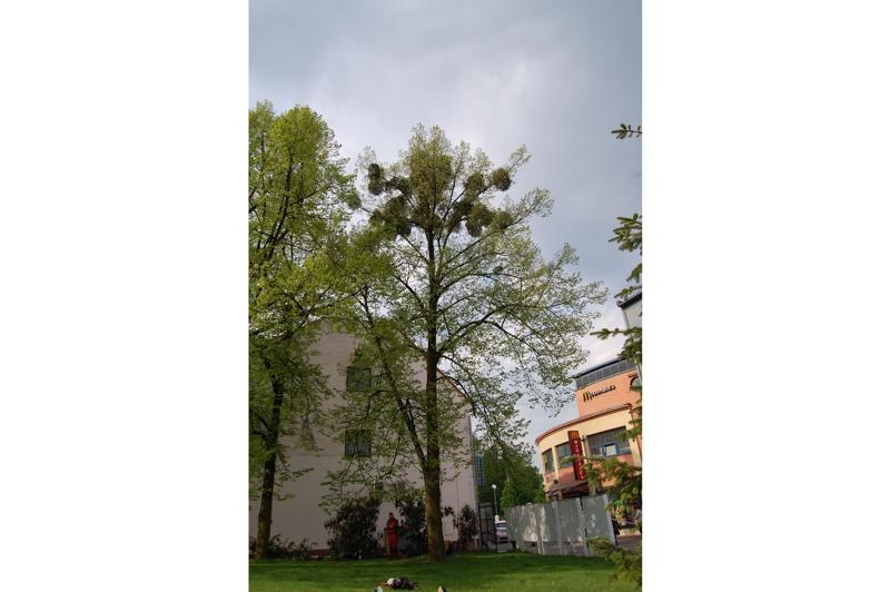 orezstromu.cz - Před ošetřením stromu 03