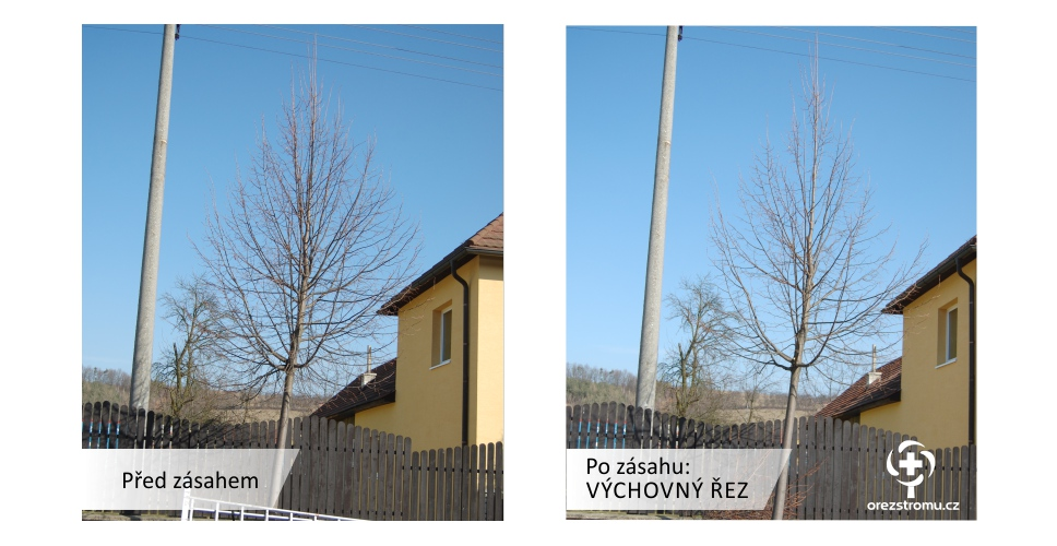 orezstromu.cz orezstromu.cz - Výchovný řez před/po zásahu