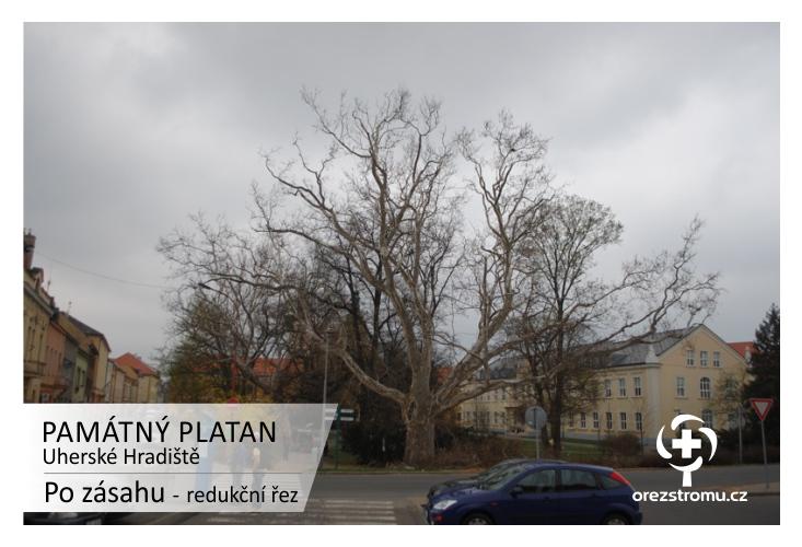 PAMÁTNÝ PLATAN - Uherské Hradiště - po zásahu: redukční řez
