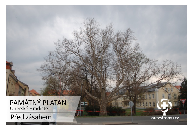 PAMÁTNÝ PLATAN - Uherské Hradiště - před zásahem